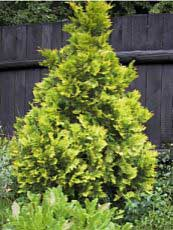 Thuja occidentalis ´Europe Gold´