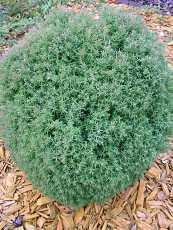 Thuja occidentalis´ Teddy´