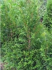 Thuja occidentalis´Brabant´