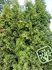 Thuja occidentalis´Malonyana´