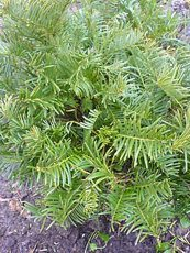 Cephalotaxus harringtonia´Drupacea´