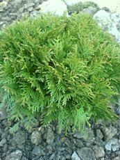 Thuja occidentalis´Little Champion´