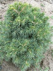 Picea abies´Tompa´