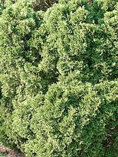 Thuja occidentalis´Holmstrup´