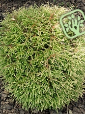 Thuja occidentalis´Golden Tuffet´