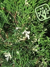 Thuja occidentalis´Smaragd Variegata´