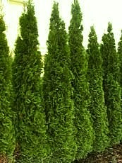 Thuja occidentalis´Smaragd´