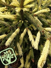 Picea abies ´Finedonensis´