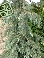 Picea engelmannii´Lace´