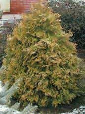 Thuja occidentalis´Rheingold´
