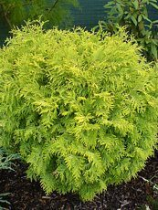 Thuja occidentalis´Globosa Aurea´