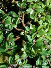 Salix serpyllifolia