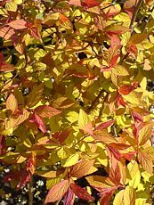 Spiraea japonica 'Goldflame'