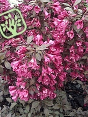 Weigela florida ´Minor Black´