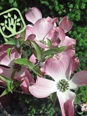 Cornus florida ´Cherokee Chief´