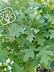 Quercus palustris ´Green Dwarf´