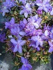 Rhododendron impeditum´Blue Silver´