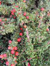 Cotoneaster conspicus