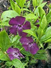 Vinca minor ´Atropurpurea´