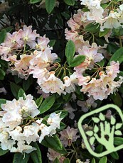 Rhododendron x hybrida ´Mother of Pearl´