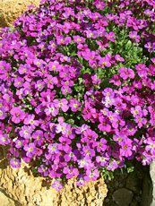 Aubrieta x cultorum ´Cascade Purple´