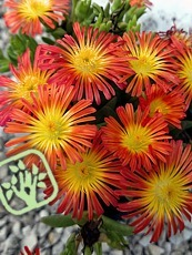 Delosperma ´Fire Wonder´