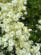 Arabis procurrens´Plena´