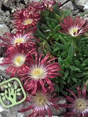 Delosperma ´Red Mountain´