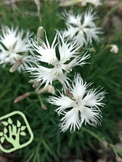 Dianthus arenarius ´Little Maiden´